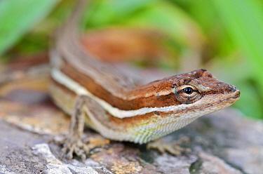 Grass Anole (Norops auratus) female, central Panama  -  James Christensen