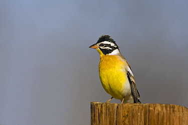 African Golden-breasted Bunting (Emberiza flaviventris) perched on a wooden pole, Khama Rhino Sanctuary, Botswana  -  Vincent Grafhorst