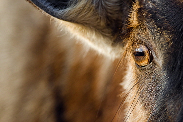 Blue Wildebeest (Connochaetes taurinus) eye, Khama Rhino Sanctuary, Botswana  -  Vincent Grafhorst