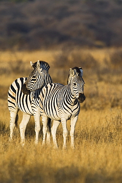 Burchell's Zebra (Equus burchellii) pair, Khama Rhino Sanctuary, Botswana  -  Vincent Grafhorst