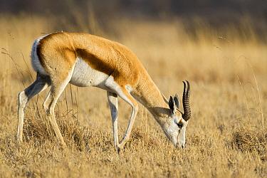 Springbok (Antidorcas marsupialis) grazing, Khama Rhino Sanctuary, Botswana  -  Vincent Grafhorst