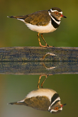 Three-banded Plover (Charadrius tricollaris) with reflection, Gaborone Game Reserve, Botswana  -  Vincent Grafhorst