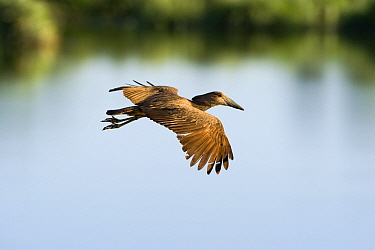 Hamerkop (Scopus umbretta) flying over water, Gaborone Game Reserve, Botswana  -  Vincent Grafhorst