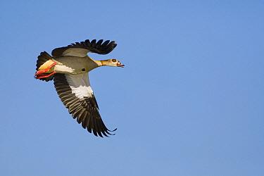 Egyptian Goose (Alopochen aegyptiacus) flying, Gaborone Game Reserve, Botswana  -  Vincent Grafhorst