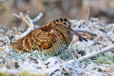 Eurasian Woodcock (Scolopax rusticola) amidst frost-covered vegetation, Netherlands  -  Do van Dijk/ NiS