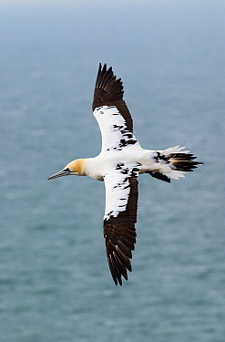 Northern Gannet (Sula bassana) flying, Helgoland, Germany  -  Jasper Doest