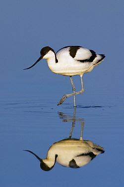 Pied Avocet (Recurvirostra avosetta) wading in shallow water, Texel, Netherlands  -  Jasper Doest