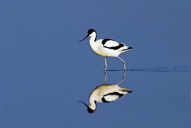 Pied Avocet (Recurvirostra avosetta) wading through shallow water, Texel, Netherlands  -  Jasper Doest