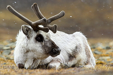 Svalbard Reindeer (Rangifer tarandus platyrhynchus) laying on the tundra in snowfall, Svalbard, Norway  -  Jasper Doest
