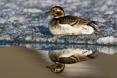 Long-tailed Duck (Clangula hyemalis) female on the ice, Svalbard, Norway  -  Jasper Doest