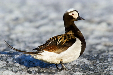 Long-tailed Duck (Clangula hyemalis) male on the ice, Svalbard, Norway  -  Jasper Doest