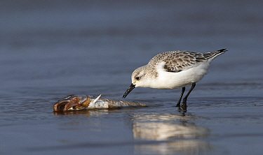 Sanderling (Calidris alba) scavenging on dead fish, Lincolnshire, United Kingdom  -  Jasper Doest