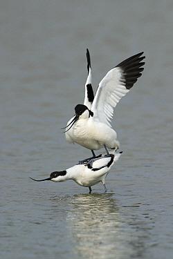 Pied Avocet (Recurvirostra avosetta) pair mating, Texel, Netherlands  -  Jasper Doest
