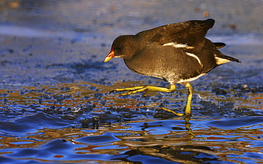 Common Moorhen (Gallinula chloropus) walking over ice, Friesland, Netherlands  -  Jasper Doest