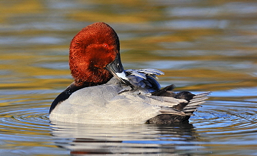 Common Pochard (Aythya ferina) drake preening, Friesland, Netherlands  -  Jasper Doest