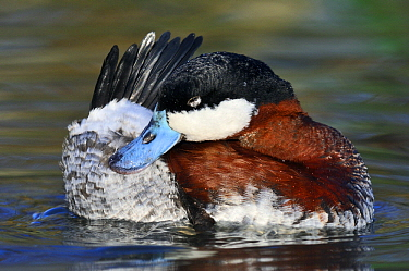 Ruddy Duck (Oxyura jamaicensis) drake preening, Friesland, Netherlands  -  Jasper Doest