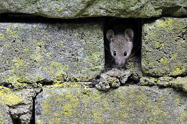 House Mouse (Mus musculus) in brick wall, Zuid-Holland, Netherlands  -  Jasper Doest