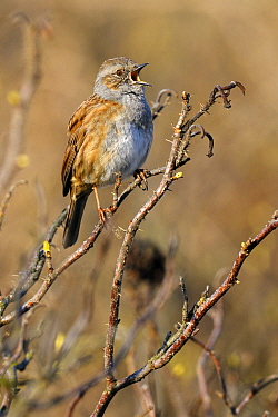 Dunnock (Prunella modularis) singing, Noord-Holland, Netherlands  -  Do van Dijk/ NiS