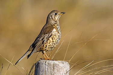 Mistle Thrush (Turdus viscivorus) perched on pole, Noord-Holland, Netherlands  -  Do van Dijk/ NiS