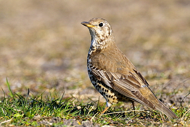 Mistle Thrush (Turdus viscivorus), Noord-Holland, Netherlands  -  Do van Dijk/ NiS