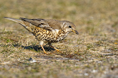 Mistle Thrush (Turdus viscivorus) foraging, Noord-Holland, Netherlands  -  Do van Dijk/ NiS