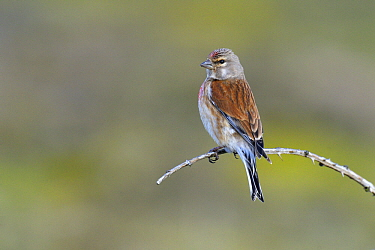 Linnet (Carduelis cannabina) perched on a small twig, Noord-Holland, Netherlands  -  Do van Dijk/ NiS