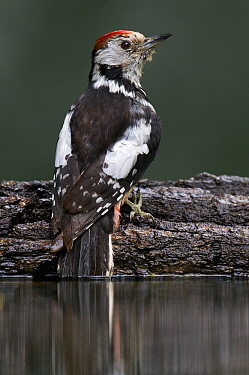 Middle Spotted Woodpecker (Dendrocopos medius) at drinking pool, Hungary  -  Do van Dijk/ NiS