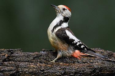 Middle Spotted Woodpecker (Dendrocopos medius), Hungary  -  Do van Dijk/ NiS