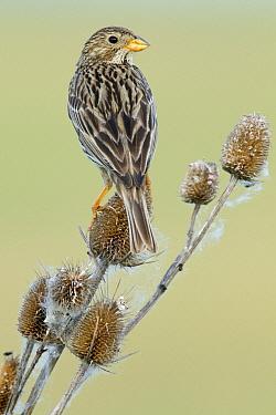 Corn Bunting (Emberiza calandra) perched on a Wild Teasel (Dipsacus fullonum), Hungary  -  Do van Dijk/ NiS