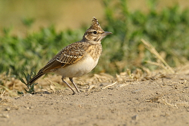 Crested Lark (Galerida cristata) yearling, Hungary  -  Do van Dijk/ NiS
