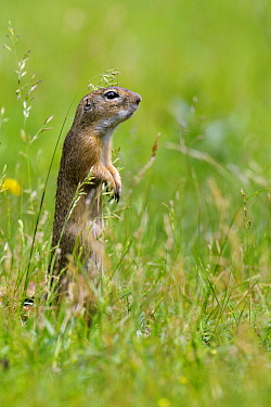 European Ground Squirrel (Spermophilus citellus) juvenile on the lookout, Hungary  -  Do van Dijk/ NiS