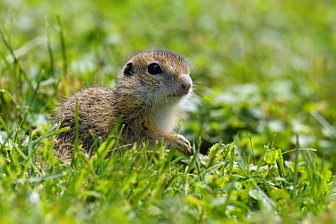 European Ground Squirrel (Spermophilus citellus) young, Hungary  -  Do van Dijk/ NiS