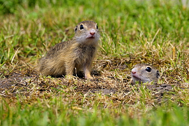 European Ground Squirrel (Spermophilus citellus) young at burrow, Hungary  -  Do van Dijk/ NiS