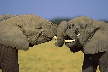 African Elephant (Loxodonta africana) pair greeting with trunks entwined, Amboseli National Park, Kenya  -  Ferrero-Labat/ Auscape