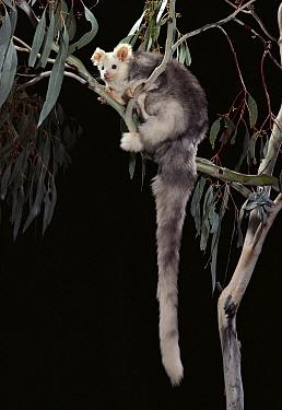 Greater Glider (Petauroides volans) in eucalyptus tree at night, Queensland, Australia  -  Jean-Paul Ferrero/ Auscape