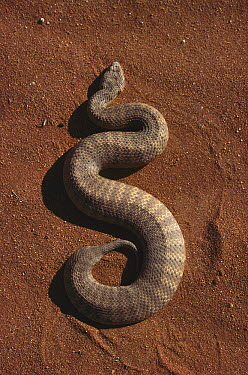 Desert Death Adder (Acanthophis pyrrhus), one of the most venomous land snakes in the world, central Australia  -  Jean-Paul Ferrero/ Auscape