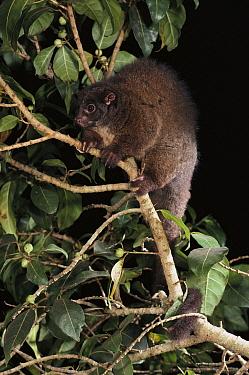 Lemur-like Ringtail (Hemibelideus lemuroides) in rainforest at night, north Queensland, Australia  -  Jean-Paul Ferrero/ Auscape