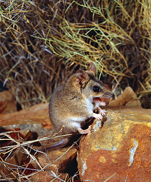 Stripe-faced Dunnart (Sminthopsis macroura) calling, Northern Territory, Australia  -  Jean-Paul Ferrero/ Auscape