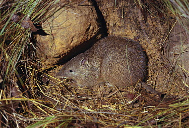 Southern Brown Bandicoot (Isoodon obesulus), southern New South Wales, Australia  -  Jean-Paul Ferrero/ Auscape