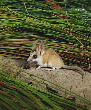 Stripe-faced Dunnart (Sminthopsis macroura), Australia  -  Jean-Paul Ferrero/ Auscape