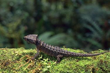 Crocodile Skink (Tribolonotus gracilis), Torricelli Range, Papua New Guinea  -  Jean-Paul Ferrero/ Auscape