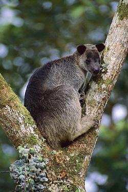 Dusky Tree-kangaroo (Dendrolagus inustus) in tree, Torricelli Range, Papua New Guinea  -  Jean-Paul Ferrero/ Auscape