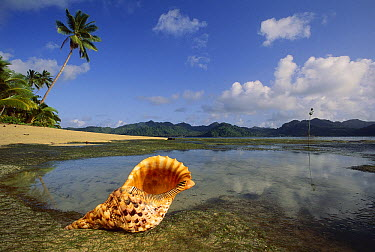 Atlantic Trumpet Triton (Charonia tritonis) on shore of a lagoon, Matagi Island, Fiji  -  Jean-Paul Ferrero/ Auscape