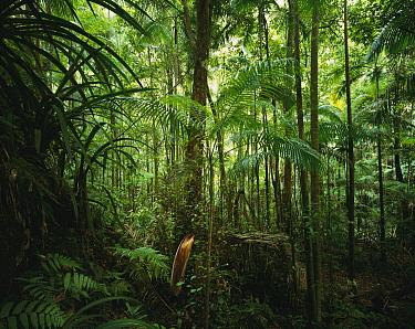 Bangalow Palm (Archontophoenix cunninghamiana) cluster in subtropical rainforest, Nightcap National Park, Australia  -  Jean-Paul Ferrero/ Auscape