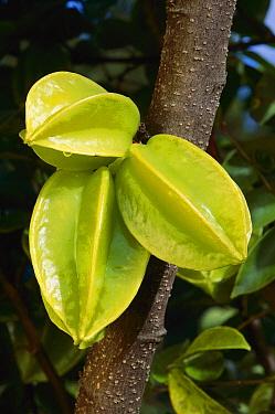 Carambola (Averrhoa carambola) fruit from Moluccas and Sri Lanka  -  Jean-Paul Ferrero/ Auscape