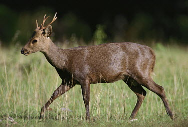 Calamanian Deer (Axis calamianensis) male, Calamian Islands, Palawan, Philippines  -  Jean-Paul Ferrero/ Auscape