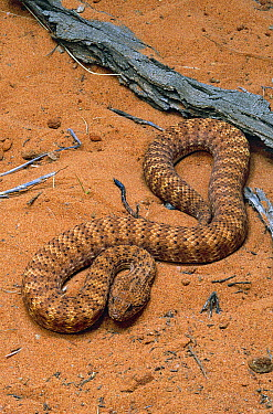 Desert Death Adder (Acanthophis pyrrhus), one of the most venomous snakes in the world, central Australia  -  Jean-Paul Ferrero/ Auscape