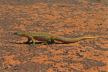 Giant Monitor Lizard (Varanus giganteus) in desert, central Australia  -  Jean-Paul Ferrero/ Auscape