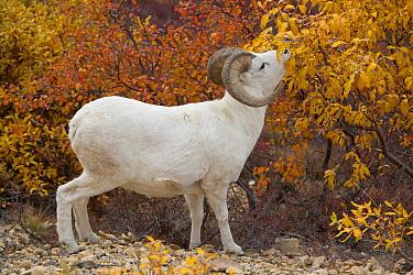 Dall's Sheep (Ovis dalli) ram browsing on golden willow leaves, Denali National Park, Alaska  -  Yva Momatiuk & John Eastcott