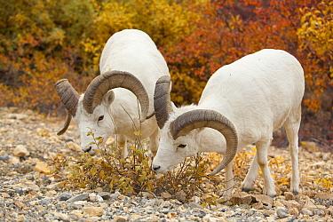 Dall's Sheep (Ovis dalli) rams feeding together on golden willow leaves, Denali National Park, Alaska  -  Yva Momatiuk & John Eastcott